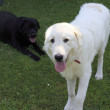 Stock Photo: Maremma or Abruzzese patrol dog with a black labrador retrivier