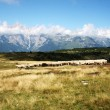 Sheep grazing in mountain — Stock Photo #33369247