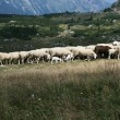 Stock Photo: Sheep grazing in mountain