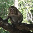 Wild monkey — Stock Photo #33537319