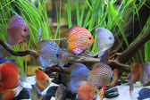 Symphysodon discus in a tank with aquatic plants — Stock Photo