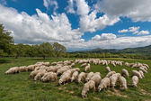Sheep in Tuscany — Stock Photo