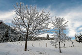 Snow covered trees — 图库照片