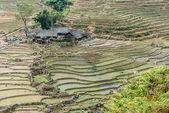 Rice field in Vietnam — Stock Photo