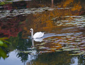 Swan on a Lake of Reflections — Stock Photo