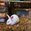 White rabbit in captivity - Stock Photo
