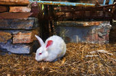 White rabbit in captivity — Stock Photo