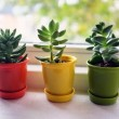 Three little cactus — Stock Photo