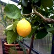 Stock Photo: Lemon tree in conservatory