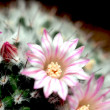 Pink cactus flowers — Stock Photo