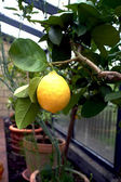 Lemon tree in a conservatory — Stock Photo