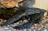 Courtship of Iberian newt — Stock Photo