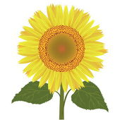 Sunflower with leaves vector — Stock Vector