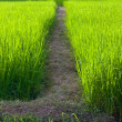 Walkway of paddy field — Stock Photo