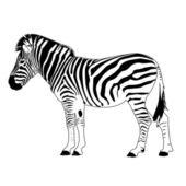 Zebra-vektor — Stockvektor