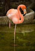 Bird flamingo — Stock Photo