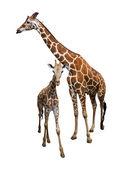 Giraffe isolate on white — Stock Photo