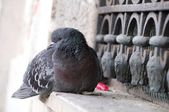 Pigeon and seagull in Venice — Stock Photo