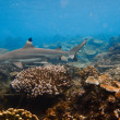 Stock Photo: Black Tip reef shark at shallow on blue