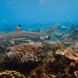 Black Tip reef shark at the shallow on blue — Stock Photo