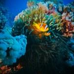 rodina žluté clown ryb — Stock fotografie #13899677