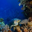 Red sediving big seturtle sitting between corals — Stock Photo #13899684