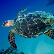 Big sea turtle swimming underwater — Stock Photo #13899685