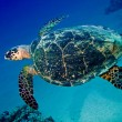 Big sea turtle swimming underwater — Stock Photo