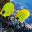 Two yellow bluecheek butterflyfish — Stock Photo