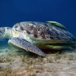 Big turtle and green suckerfish at the bottom of the sea - Stock Photo