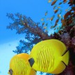 Two yellow bluecheek butterflyfish - Stock Photo