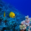 Underwater ocean coral garden with butterfly fish — Stock Photo