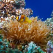 Stock Photo: Yellow white-striped clown fish hiding between anemone's tentacl
