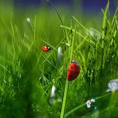 Nature green grass background. Two ladybugs closeup macro image — Stock Photo