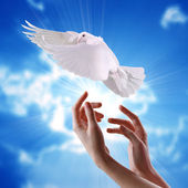 Women's hands released into the sky to the sun a white dove — Stock Photo