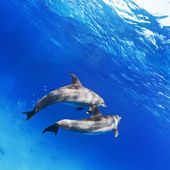 A pair of dolphins underwater in open water — Stock Photo