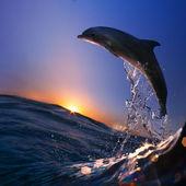 Hermoso delfín saltó de watrer en la hora del atardecer — Foto de Stock