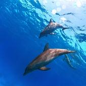 Zwei lustige schöne delphine unter wasser — Stockfoto
