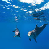 Two funny nice dolphins underwater — Stock Photo