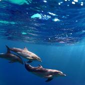 Drei delphine schwimmen unter wasser — Stockfoto