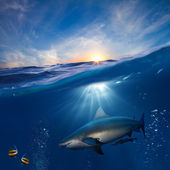 Design template with underwater part and sunset skylight splitted by waterline and angry hungry shark underwater — Stock Photo