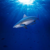 Pacific ocean bullshark swimming underwater — Stock Photo
