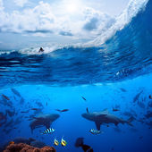Surfer on wave and two wild sharks underwater — Stock Photo
