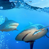 Two bull sharks underwater — Stock Photo
