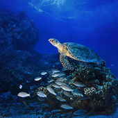 Big sea turle underwater — Stock Photo