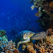 Red sea diving big sea turtle sitting between corals — Stock Photo
