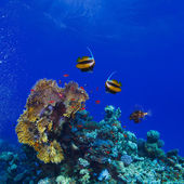 Underwater ocean coral garden full of colorful sealife — Stock Photo