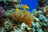 Underwater sealife family of clownfish — Stock Photo