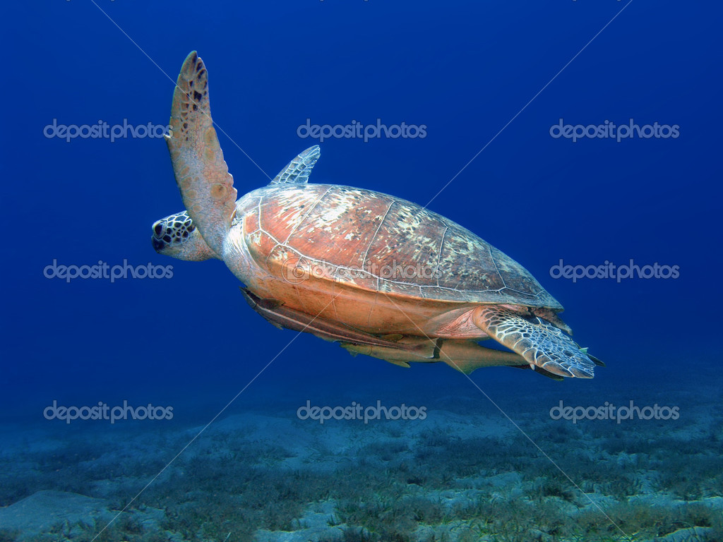 Sea turtle swims in blue underwater — Stock Photo #13899679