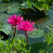 Floral postcard beautiful pink lotuses on water — Stock Photo